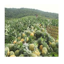 Top Quality VIETNAMESE 100% Pineapple_ Nutrition and benefits and Cheap price