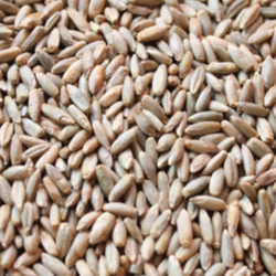 Feed Rye Grain Widely Selling Useful Winter Rye / Rye Grain  Top Quality With Cheap and Affordable Price Get Huge Discount