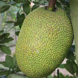 High quality Jackfruit made in Vietnam custom package ready to ship