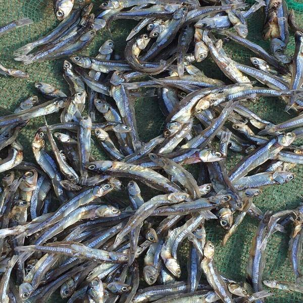 Dried Silver Anchovy/ Dried Sprats sea fish high quality certified by Nafi export Canada (Mobile/WA: +84986778999 David CEO)