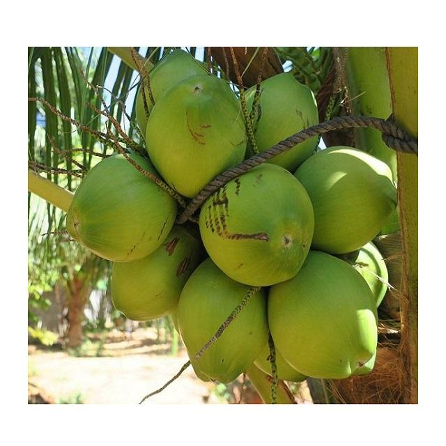 High Quality fresh mature coconuts