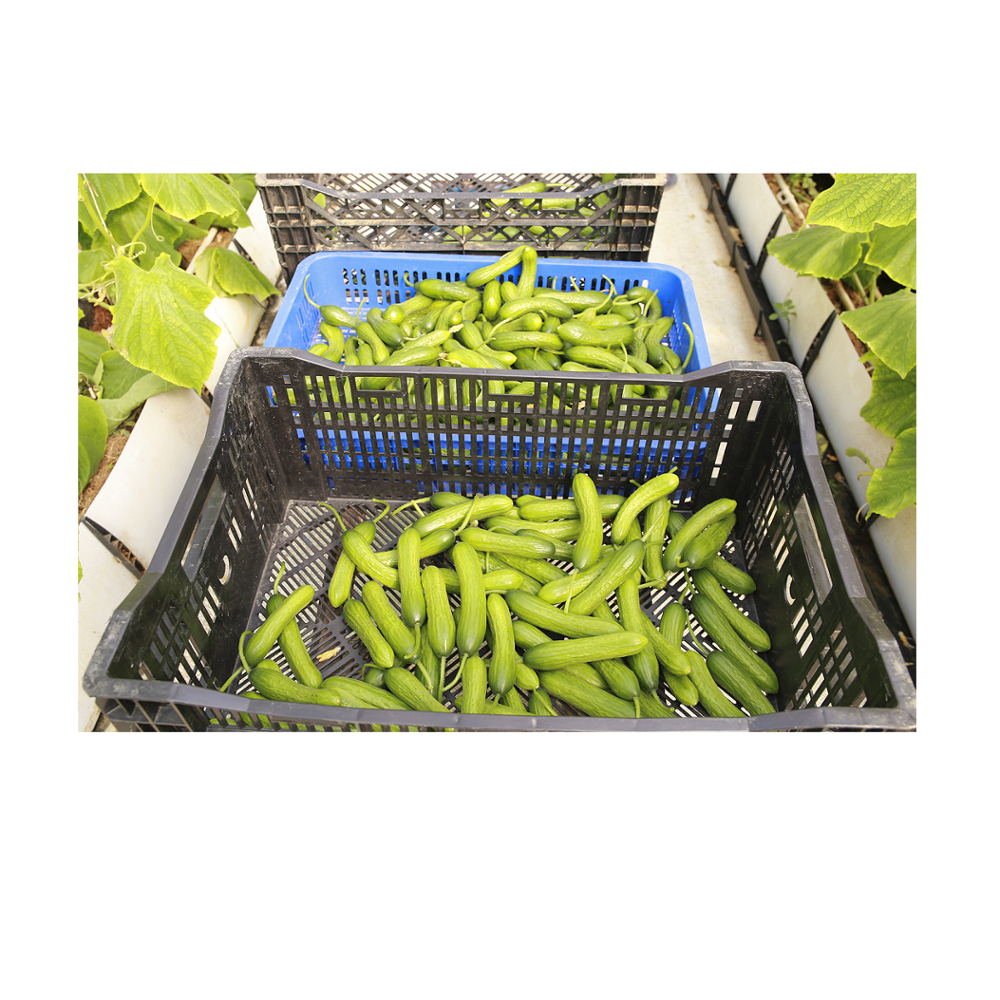 Wholesale Fresh cucumber/ Green fresh cucumber/ Fresh cucumber for sale