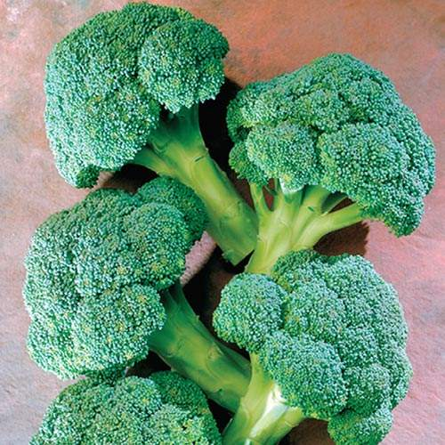 Hybrid Broccoli Seeds - SproutingYour Broccoli Seeds