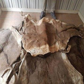 Bulk Salted Cow Head Skin /Available Wet Salted Donkey Hides/ Cow Hides/Sheep