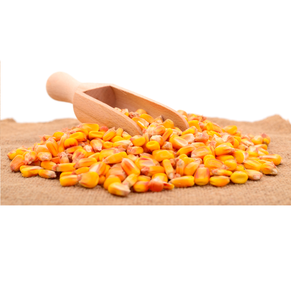 quality yellow corn
