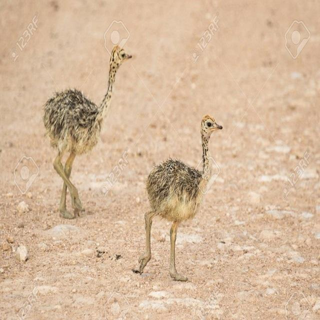 Ostrich Chicks for sale /Red and Black neck Ostrich for sale