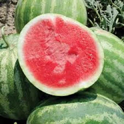 HIGH PRODUCTION OF MARUTI GLOSAM F1 HYBRID WATERMELON SEED FOR SOWING