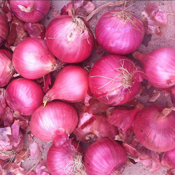 Wholesale Red/Yellow Organic onion Best price
