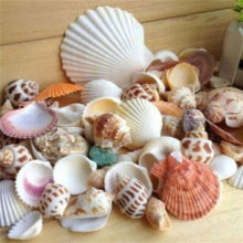 New Stock arrival Sea Shells Mixed Beach Seashells/ housing sea shells
