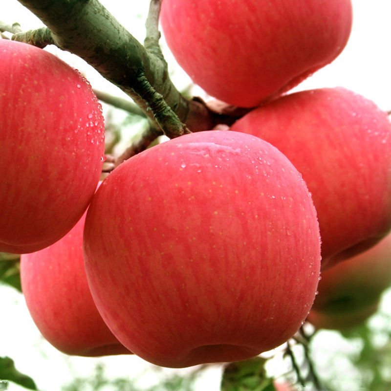 Fresh Apples/Royal Gala/Red Delicious/Granny smith apple For sale
