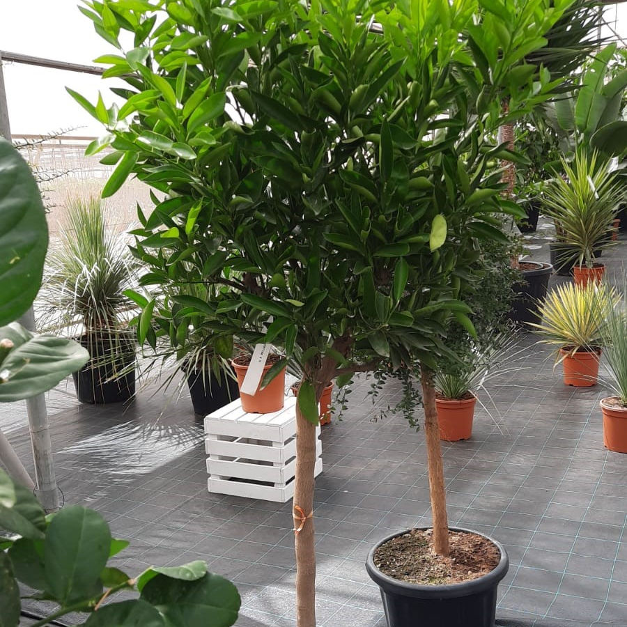 Naturale Mandarin Orange tree - Citrus reticulata 10/12 centimetri