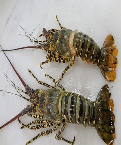 High Grade Live Lobster and Crayfish Available for Supply