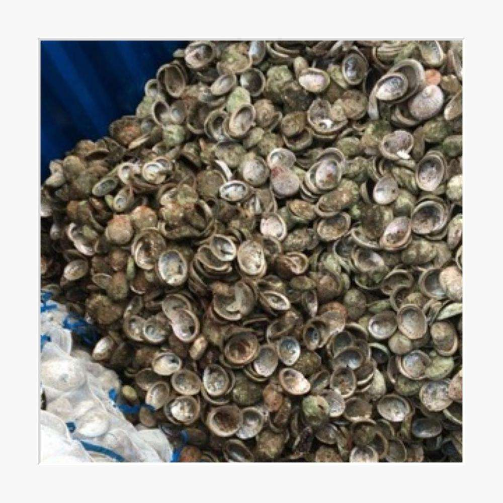 Bulk Supply Abalone Shells Greenlip and Blacklip from Australia