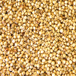Export Quality Sorghum Seeds Exporter