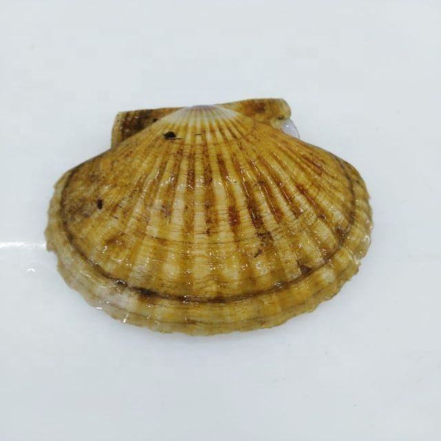 Fresh frozen chlamys albidus kuril scallop fillet