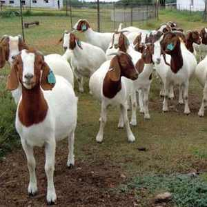 100% Purebred Live Boer Goats / Live Sheep / Live Dairy Cows