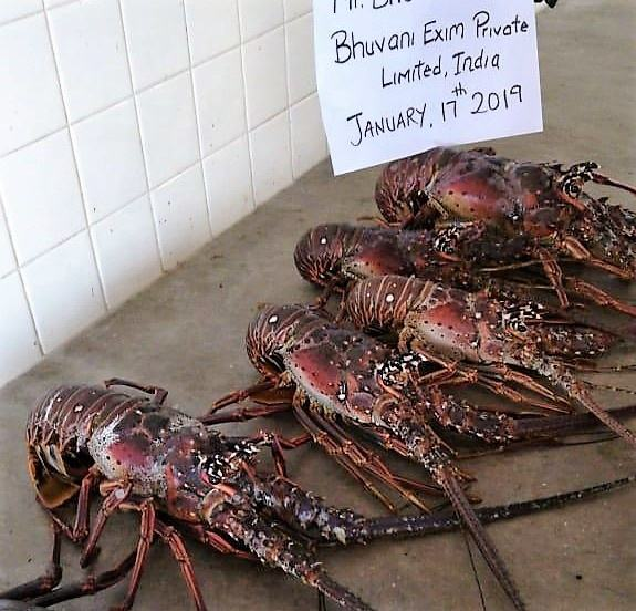 Live Caribbean Spiny Lobsters/Seafood!