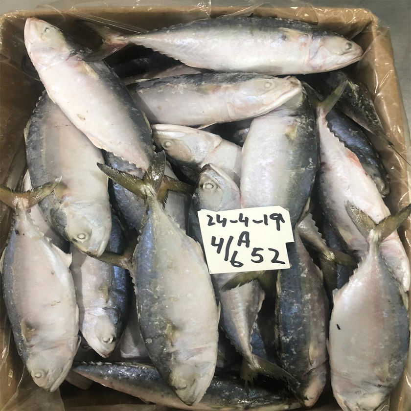 Frozen Indian Mackerel - Export Quality To China Thailand Malaysia - A Grade Pakistan Seafood Products