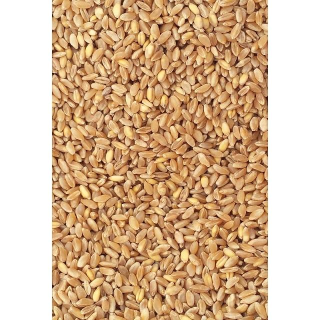 Organic Indian Wheat Grain/Seed