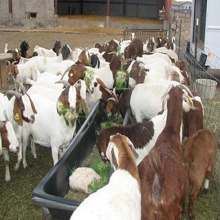 South Africa live boer goats