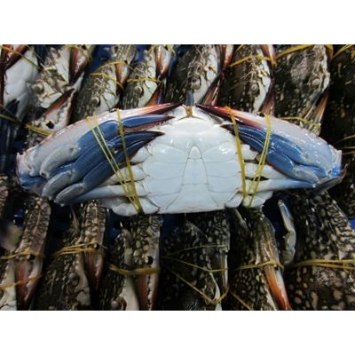 Alive/ Fresh/ Frozen Blue Swimming Crab