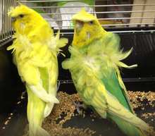 Japanese Crested Birds and others birds for sale