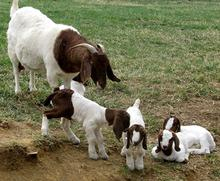 Boer Goats with Full Blood