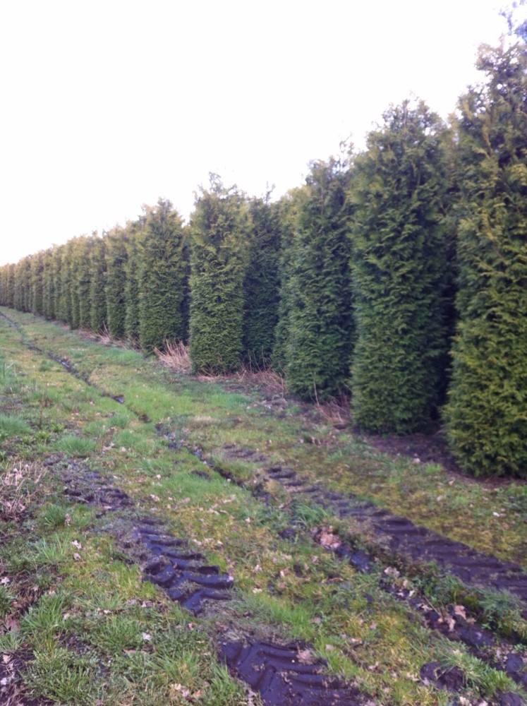 Ornamental Garden Trees Conifers And Bushes Buy Garden