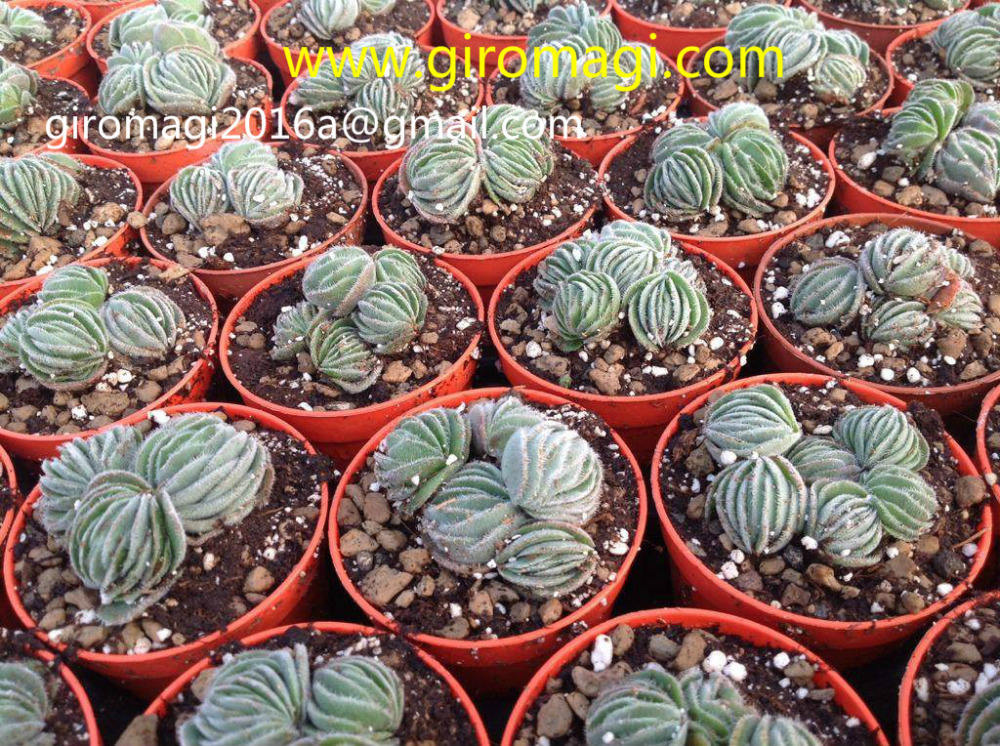 cacti and succulent plants from italy crassula tomentosa