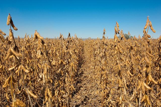 SOYBEANS NON GMO BRAZIL ORIGIN