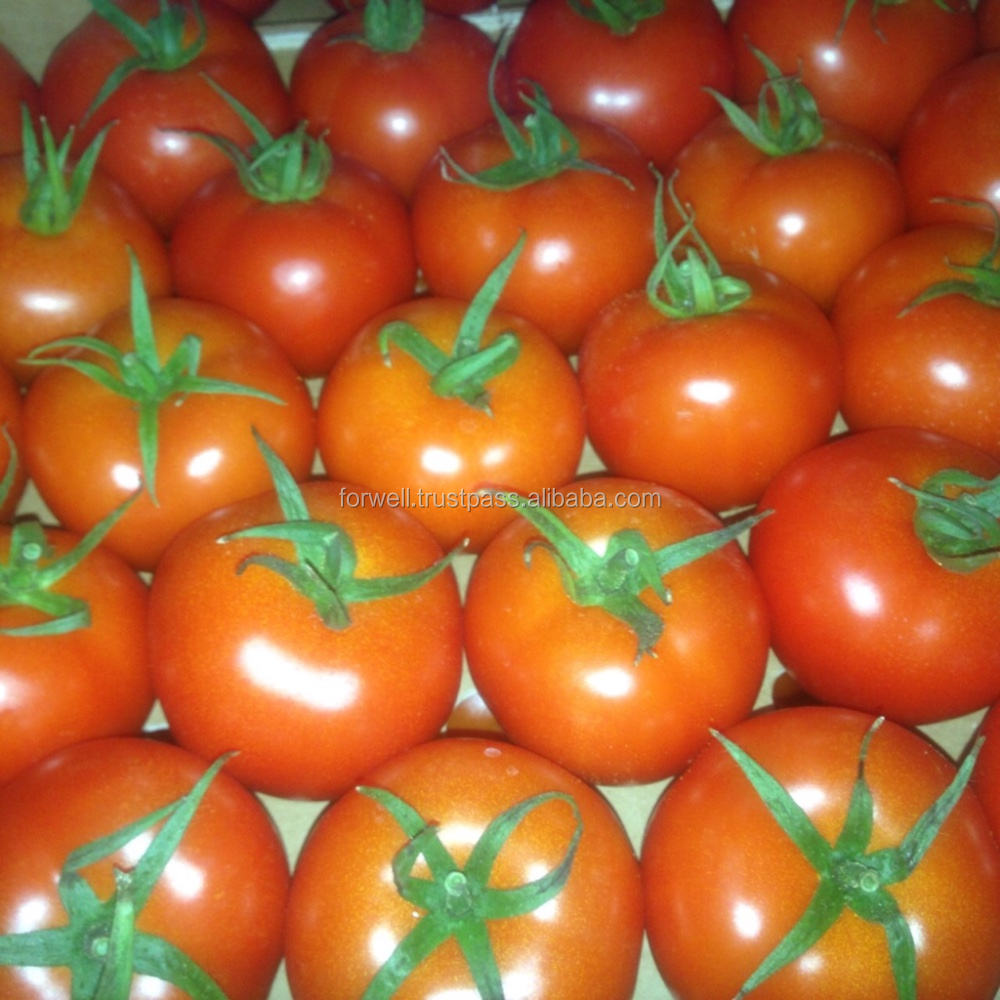 common fresh tomatoes cheap price Wholesale best tomatoes from egypt