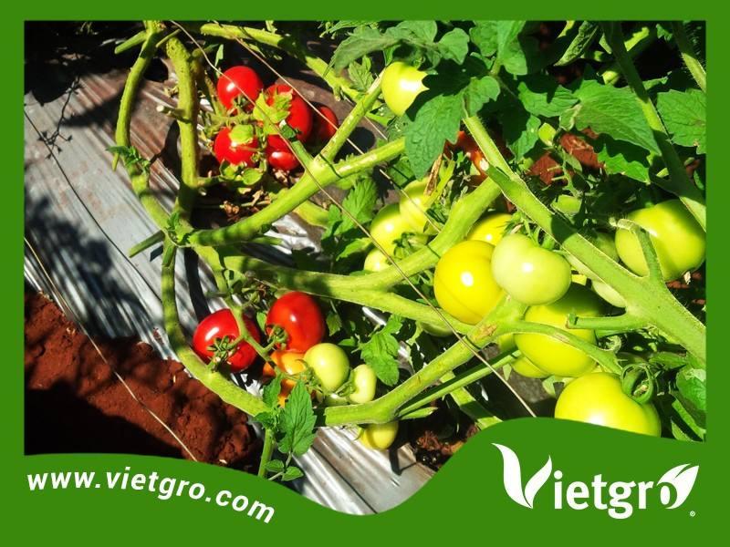高収率vgt04f1ハイブリッドトマトの種子