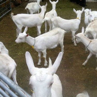 Saanen Goats For Sell