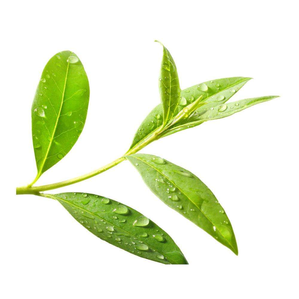 Tea tree Etherische olie Bulk Exporteurs
