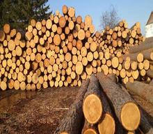 Pine Logs Fresh Cut for -  European Pines