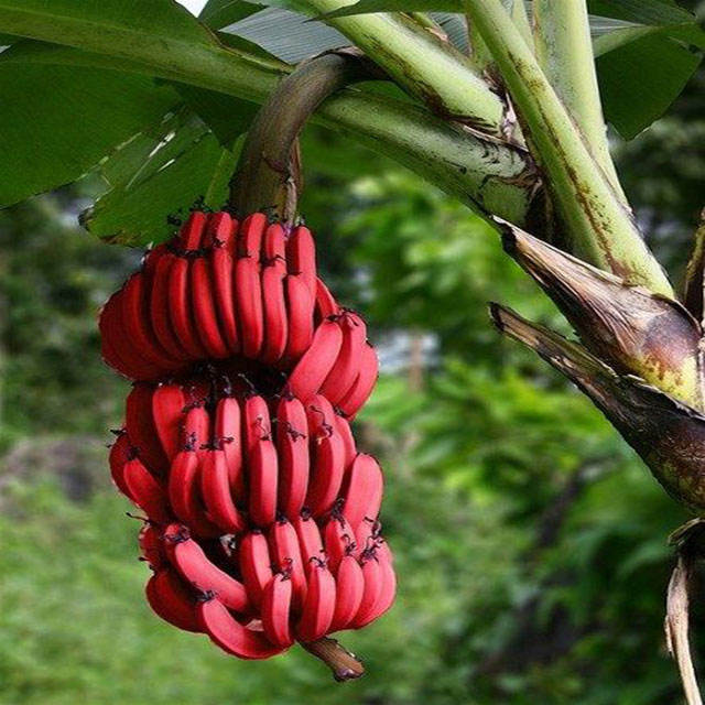 Banane Cavendish rouge