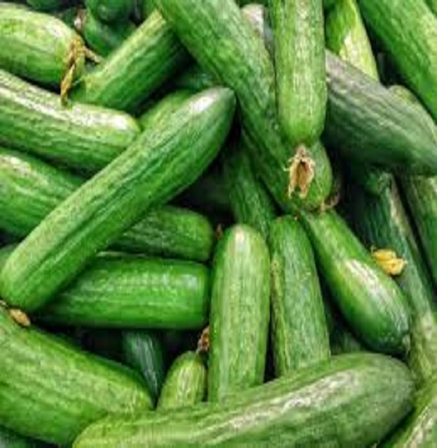 Fresh Vegetables Green Cucumber from Turkey ready for export