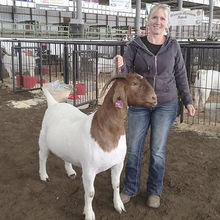 Hundred Percent  Full Blood Live Boer Goats For sale in large numbers
