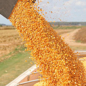MAIZE FOR ANIMAL FEED / YELLOW CORN FOR POULTRY FEED