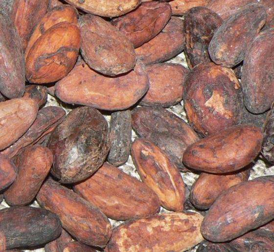 Dried Cocoa/ Cacao/ Chocolate Bean