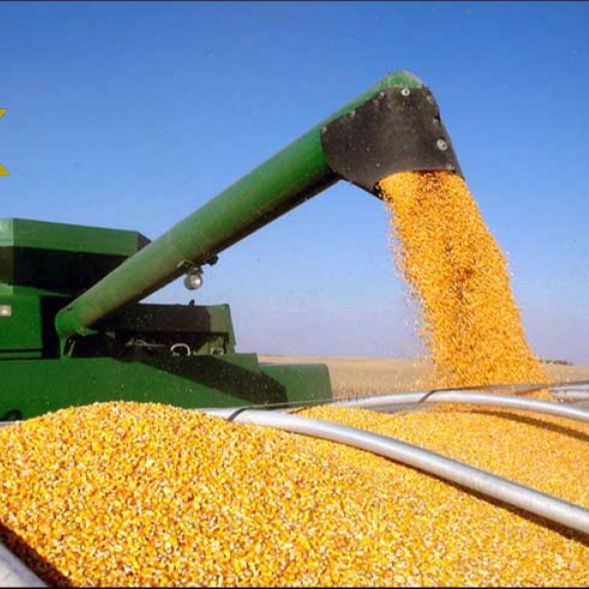 Ukranian-Top Selling Non GMO Yellow Maize/Corn