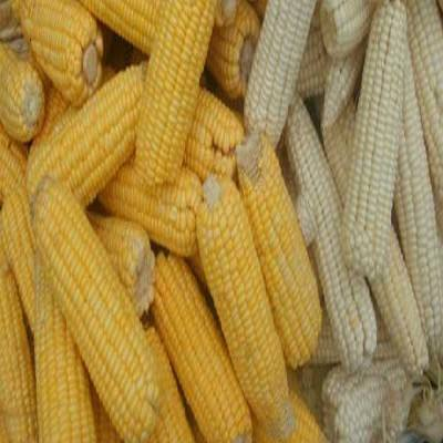 Non GMO White and Yellow Corn/Maize GRADE 1