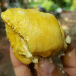 IQF DURIAN MEAT SUPPLIERS VIETNAM in 2020