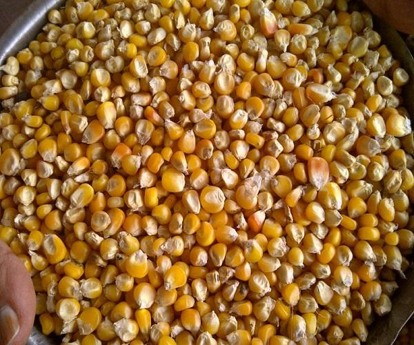 Top quality yellow corn for sale