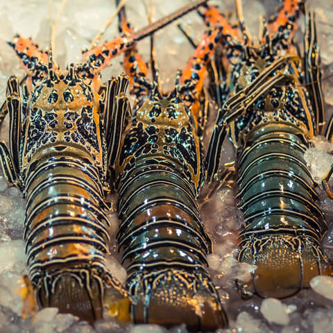 Super Live Canadian Lobsters / Frozen Lobster Tails at cheap price