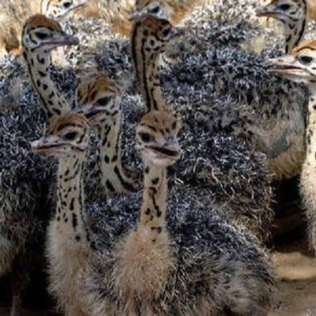 Ostrich Chicks / Fertilized Ostrich eggs / Mature Ostrich Birds For Sale