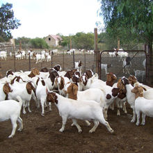 2019 Discount Prices 100% Full Blood Live Boer Goats / 100% Pureblood Mature boar goat for sale