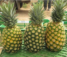 Fresh Pineapple from Vietnam- Cheap Price