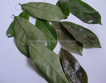 DRIED GRAVIOLA/SOURSOP LEAVES - BEST QUALITY - COMPETITIVE PRICE