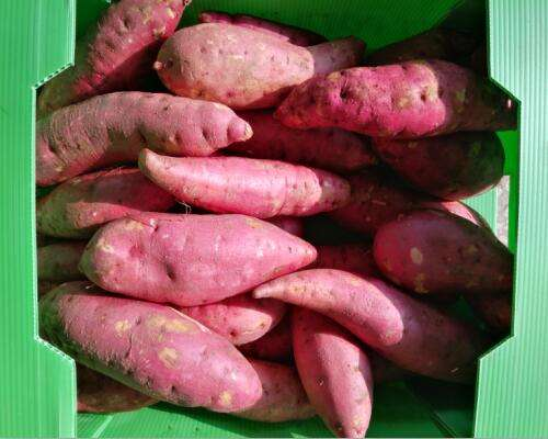 Fresh Sweet Potato with red skin and orange inner